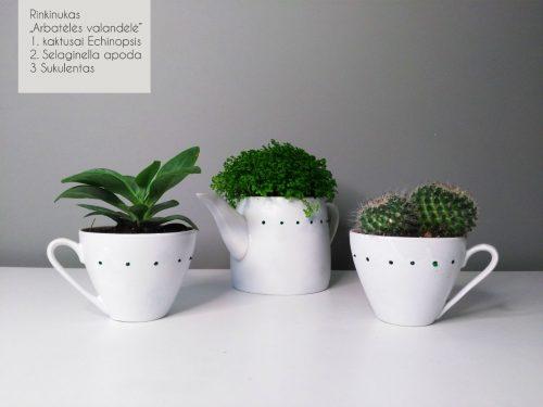 Sukulentai, kaktusai, augalai interjerui, Vilnius