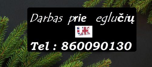Darbas Škotijoje kalėdinių eglučių medelynuose.