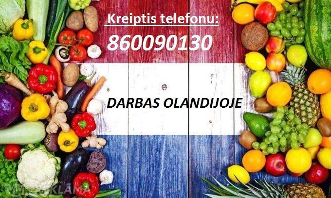 Darbas didžiausioje vaisių pristatymo įmonėje Olandijoje